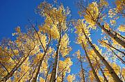 Jerry Mcelroy Metal Prints - Colorado Aspen Metal Print by Jerry McElroy