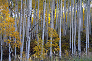 Bierstadt Photos - Colorado Aspens 9791 by Renee Skiba