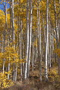 Bierstadt Photo Metal Prints - Colorado Aspens 9889  Metal Print by Renee Skiba