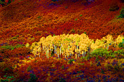 Yellow Leaves Framed Prints - Colorado Aspens Super Sat Framed Print by Rich Franco