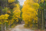 Colorado Greeting Cards Posters - Colorado Autumn Aspen Road Boulder County Poster by James Bo Insogna