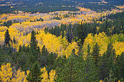 Colorado Greeting Cards Posters - Colorado Autumn Aspens Boulder County  Poster by James Bo Insogna