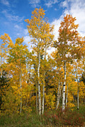Autumn Photography Prints Posters - Colorado Autumn Aspens  Poster by James Bo Insogna