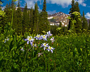 Lush Colors Framed Prints - Colorado Blue Columbine And Peeler Peak Framed Print by Crystal Garner