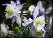 Blue Flowers Posters - Colorado Blue Columbine Poster by Saija  Lehtonen