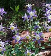 Donna Parlow - Colorado Columbine