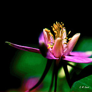 Violet Photo Originals - Colorado Columbine by Michael Durst