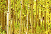Leaves Photographs Framed Prints - Colorado Fall Foliage Aspen Landscape Framed Print by James Bo Insogna