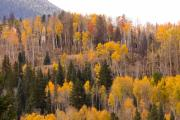 Aspens Framed Prints - Colorado Fall Foliage Framed Print by James Bo Insogna
