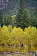 Photo Calendars Framed Prints - Colorado Golden Aspens Framed Print by Brent Parks