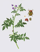 Instar Posters - Colorado Potato Beetle On Potato Plant Poster by Lizzie Harper