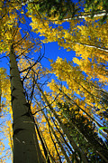 Yellow Trees Prints - Colorado Sun Print by Dana Kern