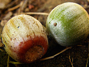 Forest Floor Photos - Colored acorns by Leslie Bilbrey