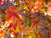 Autumn Prints Prints - Colorful Autumn Leaves art prints Trees Print by Baslee Troutman Nature Photography Art