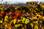 Grape Leaves Photos - Colorful Autumn Vineyard by Dina Calvarese
