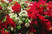 Blooming Bushes Prints - Colorful Bougainvilleas Print by Susanne Van Hulst