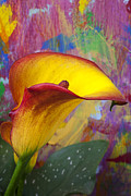 Calla Details Framed Prints - Colorful Calla Lily Framed Print by Garry Gay