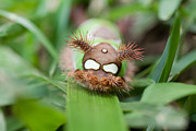 Saddleback Prints - Colorful Caterpillar Print by Craig Lapsley