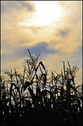 Corn Digital Art Posters - Colorful Clouds Over a Cornfield Poster by Bill Cannon