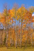Yellows Framed Prints Prints - Colorful Colorado Autumn Colors Print by James Bo Insogna