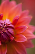 Dahlias Prints - Colorful Details Print by Mike Reid