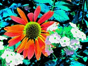 Seacapes Prints - Colorful Echinacea Purpurea Print by Annie Zeno
