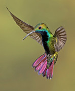 Mid-air Photo Posters - Colorful Humming Bird Poster by Image by David G Hemmings