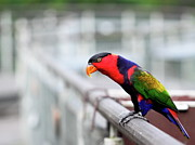 Railing Prints - Colorful Lory Print by Grass-lifeisgood