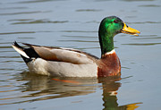 Wildlife Art Art - Colorful Mallard by Carmen Del Valle
