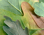 Oak Photos - Colorful Oak Tree Leaves by Jennie Marie Schell