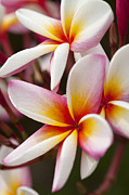 Backdrop Digital Art Originals - Colorful Plumeria flowers  by Anek Suwannaphoom