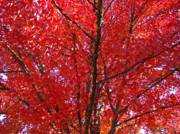Red Leaves Photos - COLORFUL Red Orange FALL Tree Leaves Art Prints Autumn by Baslee Troutman Fine Art Prints Collections