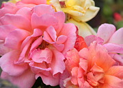 Roses Photos - Colorful Roses by Carol Groenen