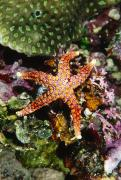 Fiji Prints - Colorful Seastar Laying On Cean Reef Print by James Forte