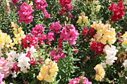 Snapdragons Prints - Colorful Snapdragons in San Antonio Print by Carol Groenen