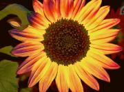 Sunflowers - Colorful Sunflower by Cathie Tyler