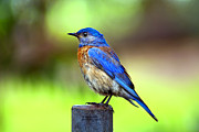James Ahn Prints - Colorful - Western Bluebird Print by James Ahn