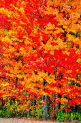 Fall Leaves Posters - Colorific Poster by Emily Stauring