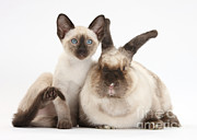 House Pets Posters - Colorpoint Rabbit And Siamese Kitten Poster by Mark Taylor