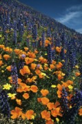 Ca Poppies Prints - Colossal California Wildflowers Print by Don Kreuter