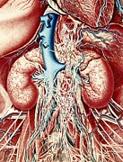 Kidney Posters - Colour Artwork Of Kidneys & Nerves & Blood Vessels Poster by Mehau Kulyk