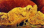 Mucosa Prints - Colour Sem Of Cross-section Through Stomach Wall Print by Prof Cinti & V. Gremetspl
