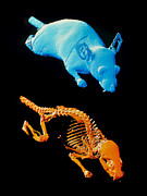 3-d Posters - Coloured 3-d Ct Scans Of An Obese Laboratory Mouse Poster by Ornl