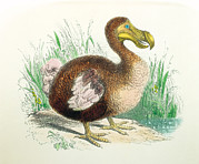 Extinct Bird Prints - Coloured Engraving Of A Dodo Print by Dr Jeremy Burgess