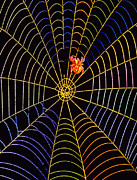 Orb Photos - Coloured Image Of Web And Garden Spider, Araneus by Dr Jeremy Burgess