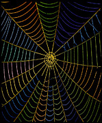 Orb Photos - Coloured Image Of Web Of Garden Spider, Araneus by Dr Jeremy Burgess