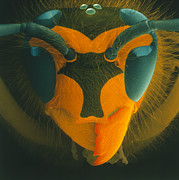 Wasp Prints - Coloured Sem Of A Wasps Head (vespula Vulgaris) Print by Power And Syred