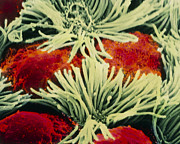 Epithelium Posters - Coloured Sem Of Bronchial Epithelium Lining Lung Poster by Prof Cinti & V. Gremetspl