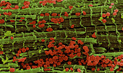 Cardiac Posters - Coloured Sem Of Healthy Heart Muscle Fibres Poster by Steve Gschmeissner