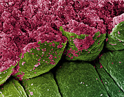 Epithelial Prints - Coloured Sem Of Iris Epithelial Cells Of The Eye Print by Steve Gschmeissner